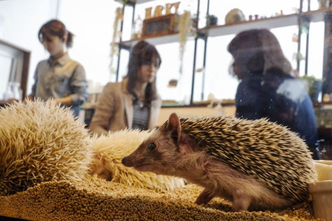 JAPAN-CAFE/HEDGEHOG